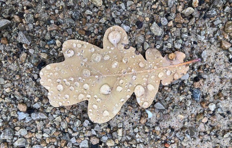 oak-leaf-Treptower-Park
