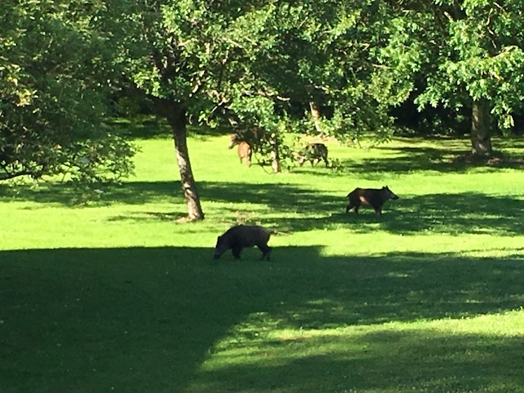 boars-in-the-garden